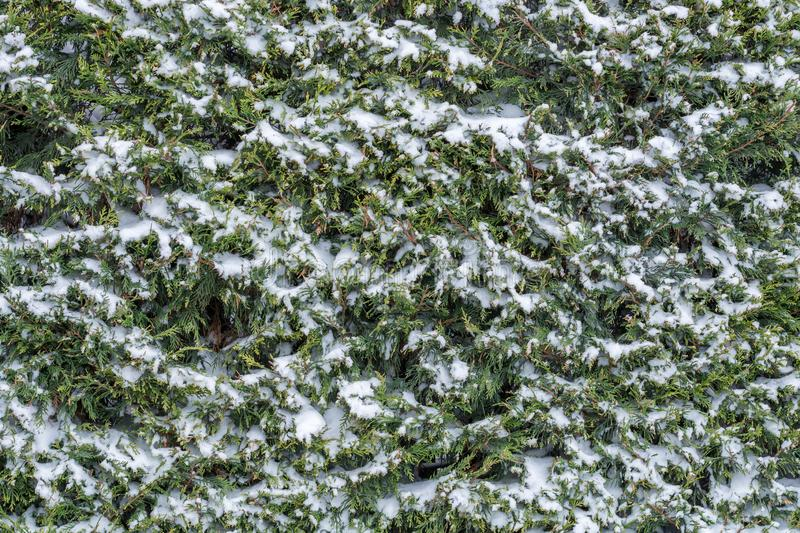 Snow-covered conifer in winter as an evergreen plant stock photo