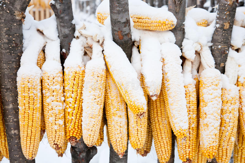 Snow-covered corn royalty free stock photo