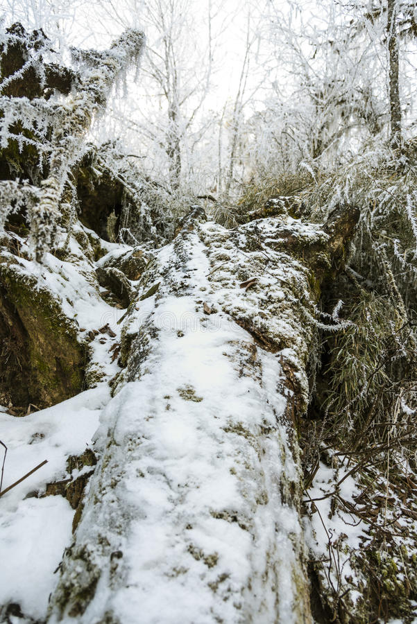 Snow-covered deadwood royalty free stock image