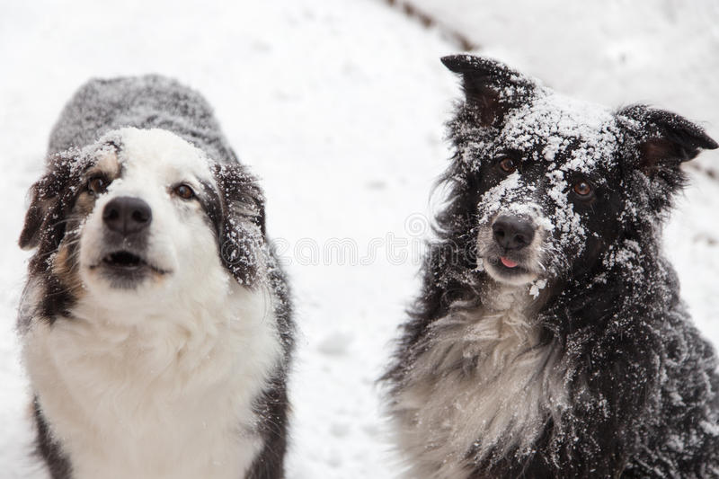 Snow covered dogs. Dogs outside in winter covered in snow. one barks to complain he wants in royalty free stock photography
