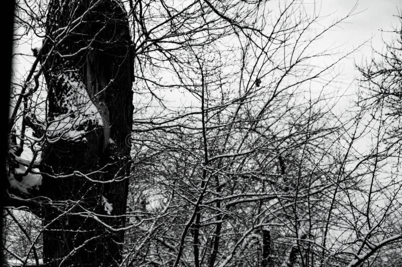 Snow-covered eik in het Januari-bos stock foto