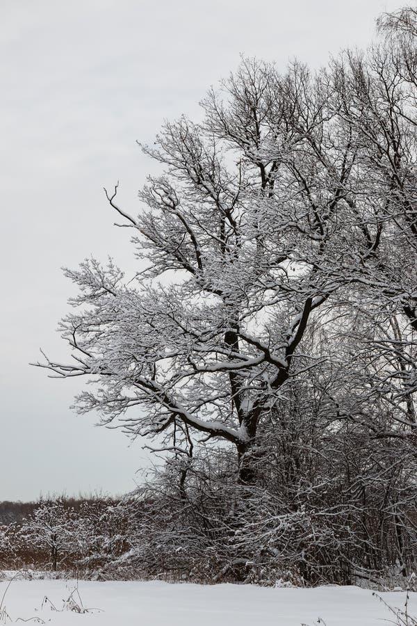 Snow-covered eiken boom op de rand van het bos royalty-vrije stock afbeeldingen
