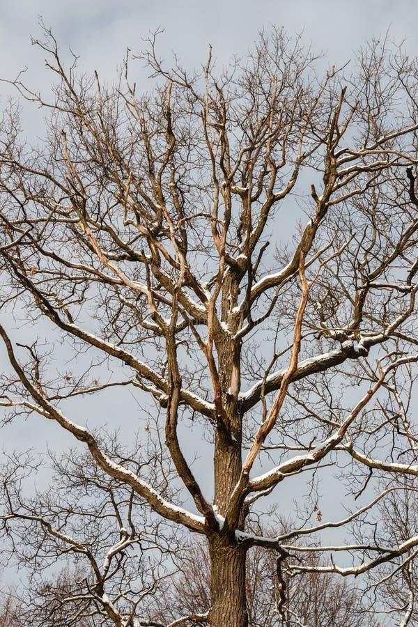 Snow-covered eiken boom, zonovergoten, tegen de hemel royalty-vrije stock foto's