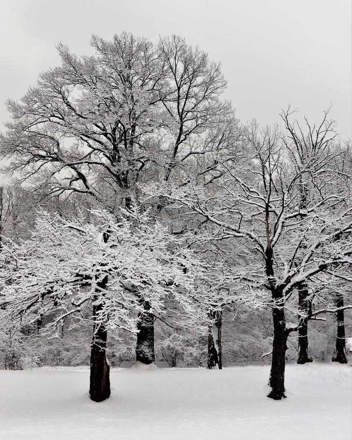 Snow-covered eiken bosje op een de winterdag De winterlandschap, eiken bos in pluizige sneeuw Witte sneeuw op boomtakken in de mi royalty-vrije stock afbeelding