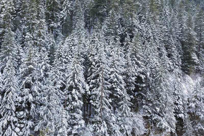Snow Covered Evergreen Fir Trees during WInter stock photography