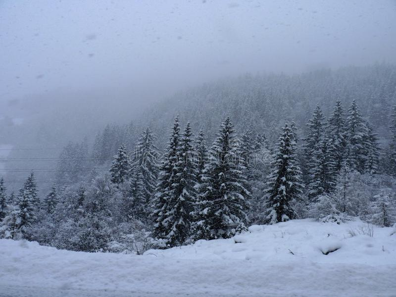Snow covered evergreen tree forest royalty free stock photo