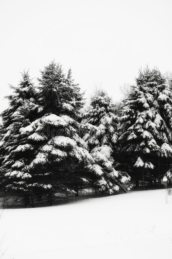Snow covered evergreen trees stock photos