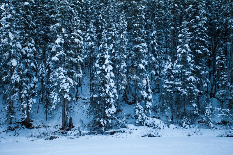 Snow covered evergreen trees in a forest royalty free stock image