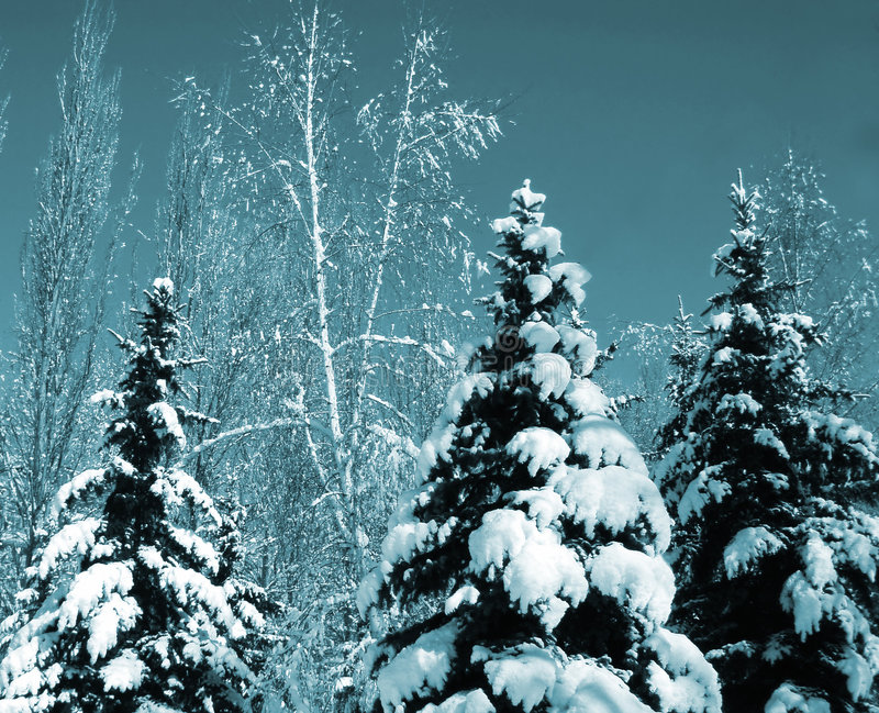 Snow-covered evergreens stock photo