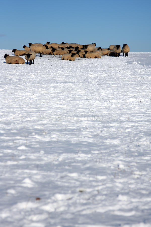 Snow Covered Fields With Sheep Royalty Free Stock Images
