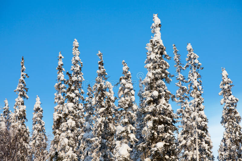 Download Snow-covered fir tree stock photo. Image of shine, sunny - 23518404