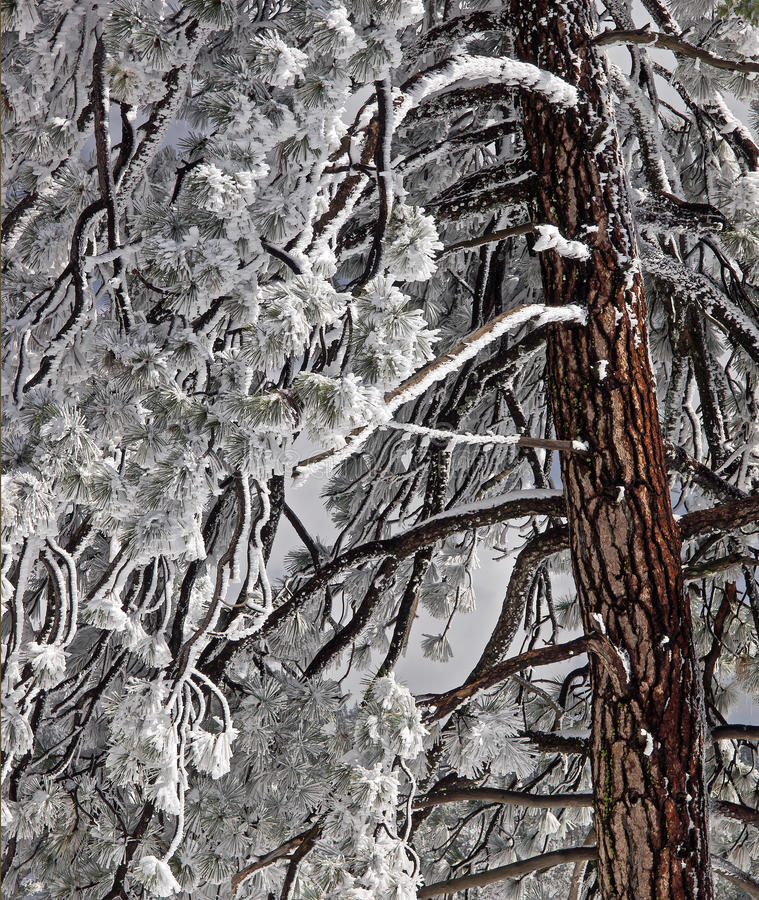 Free Snow Covered Fir Tree Royalty Free Stock Images - 24109419