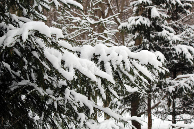 Download Snow-covered Fir-tree In The Wood Stock Photo - Image: 83704970