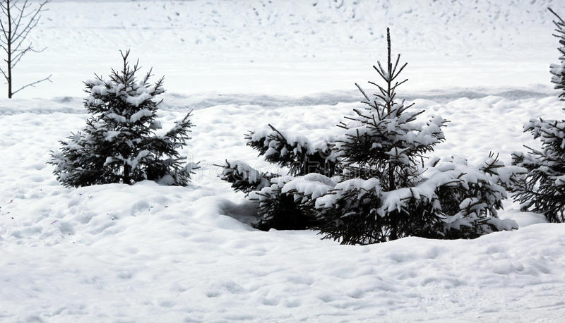 Download Snow-covered Fir-tree In The Wood Stock Photo - Image: 83705050
