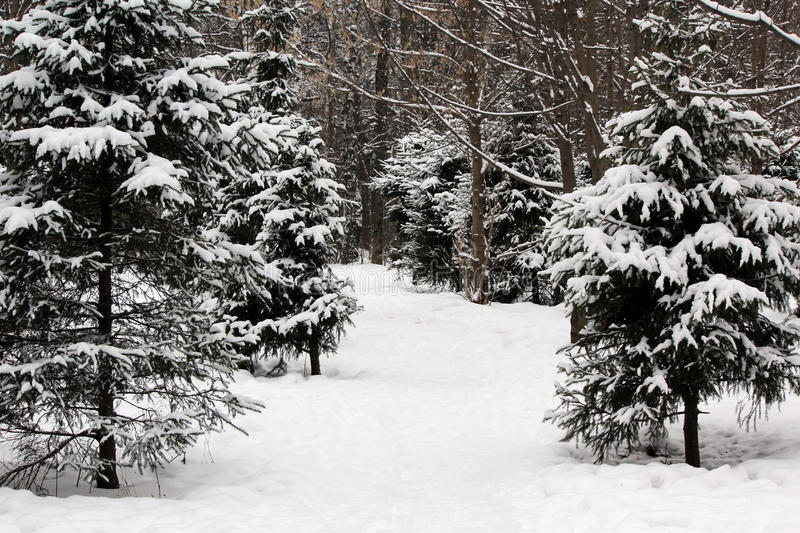 Download Snow-covered Fir-tree In The Wood Stock Image - Image: 83705175