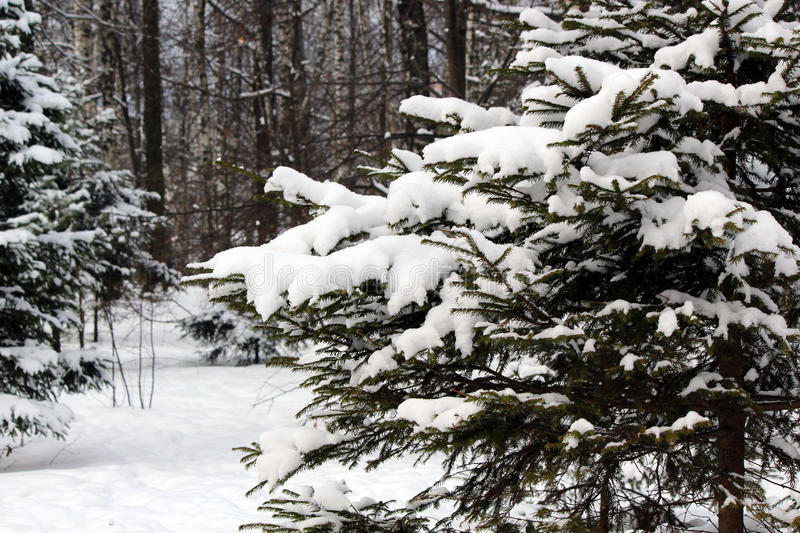 Download Snow-covered Fir-tree In The Wood Stock Photo - Image: 83705328