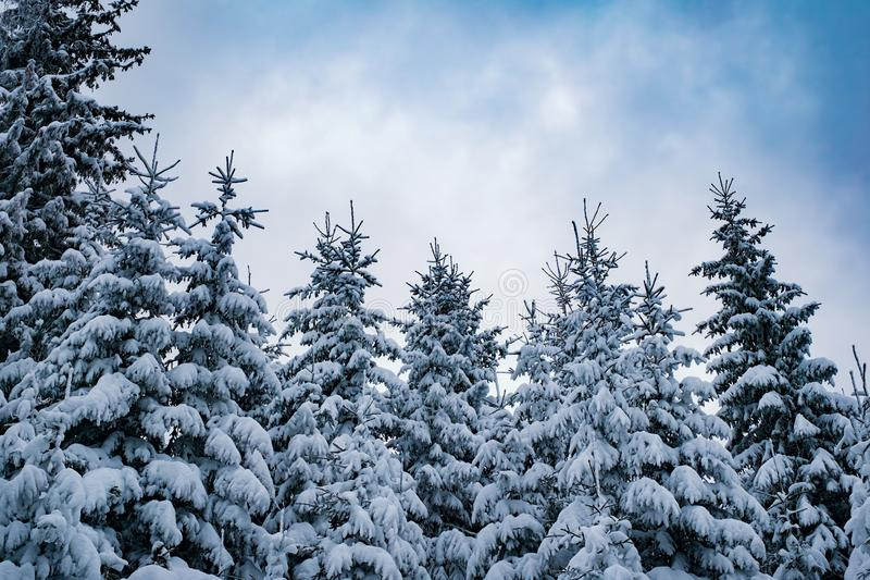 Snow-covered fir trees with the sky in the back stock photo