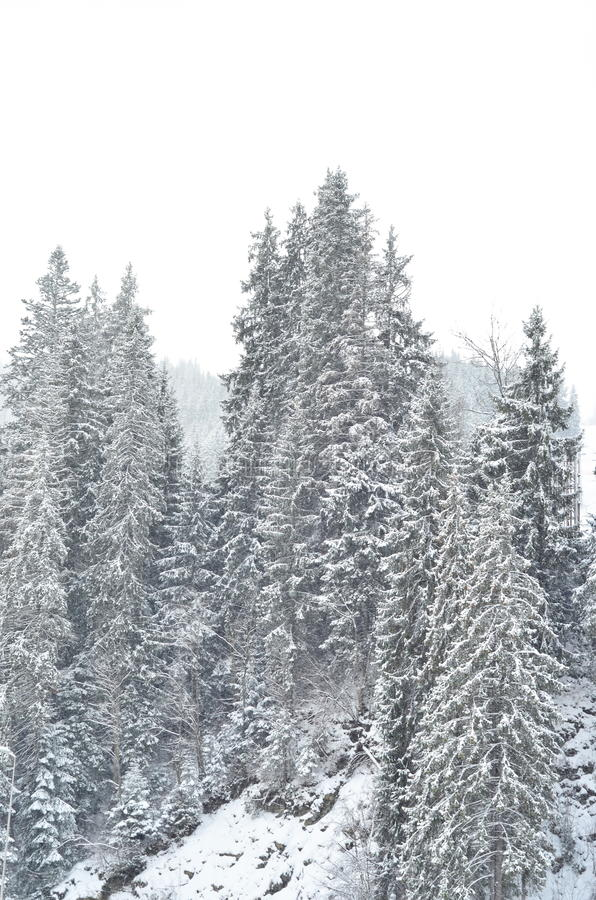 Snow covered fir trees, winter background with copy space. View of scenic white winter landscape, winter landscape stock images