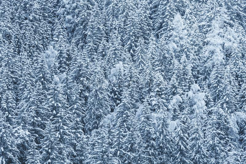 Snow-covered forest, fir trees with snow on branches. Full background of winter landscape. Chamonix, Mont Blanc in France stock image