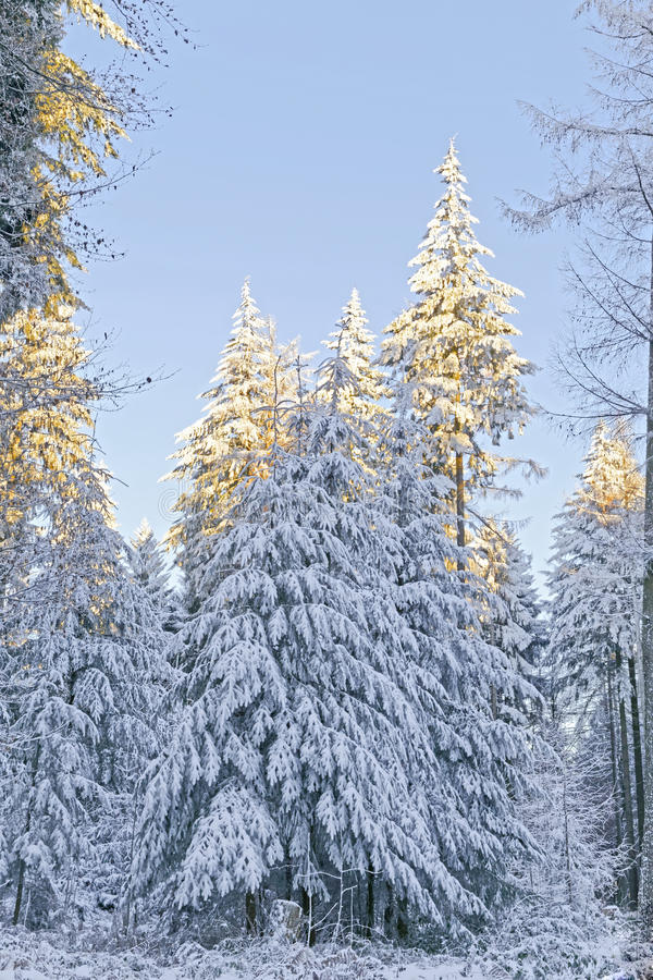 Download Snow Covered Forest Stock Photo - Image: 83710963