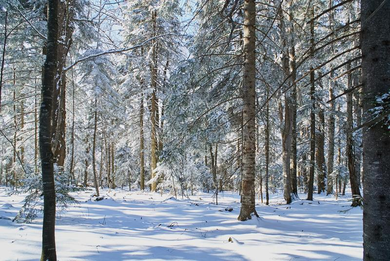 Snow-covered forest in which the rays of the winter sun fall.Lago-Naki, The Main Caucasian Ridge. Russia royalty free stock photo