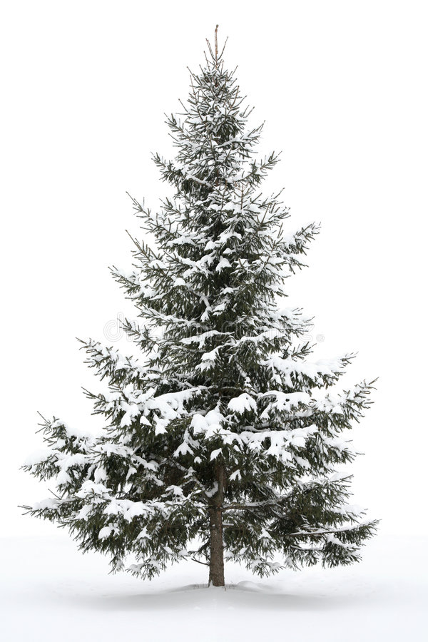 Snow-covered fur-tree stock images