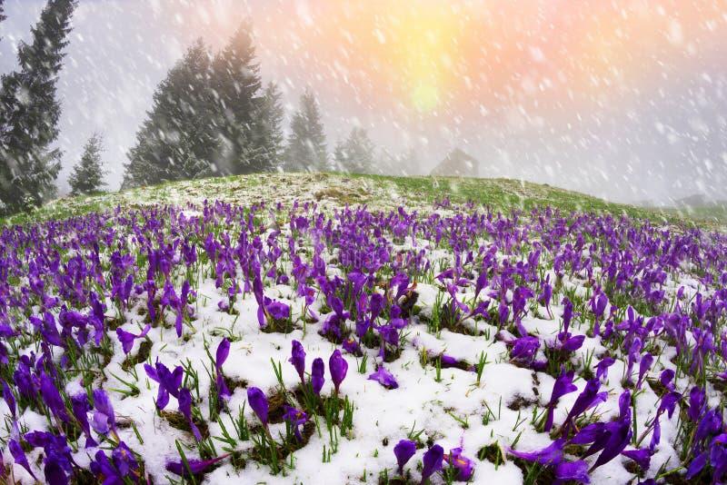 Snow-covered gebied van krokussen stock foto's