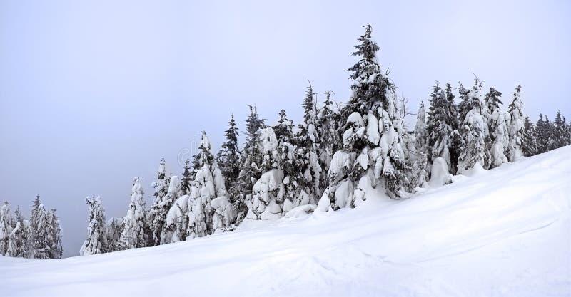 Snow-covered gran royaltyfria foton