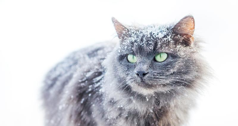 Snow-covered gray furry cat on a white background_ stock photos