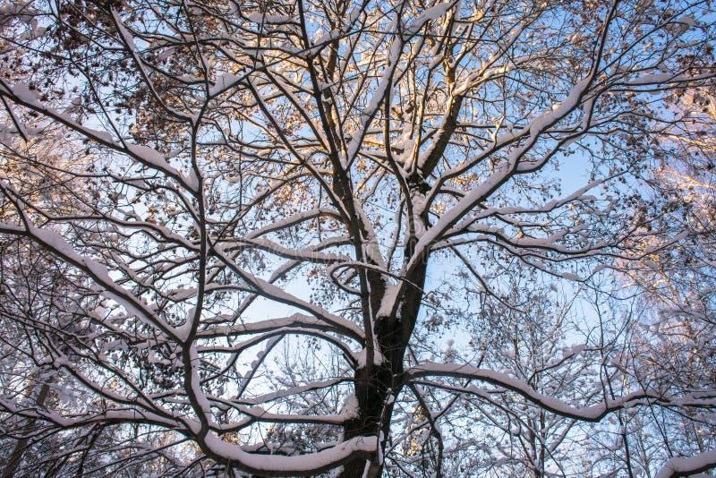 Snow-covered ijzige kroon van de oude die esdoorn, door de stralen van de de winterzon tegen de heldere blauwe hemel wordt verlic stock afbeeldingen