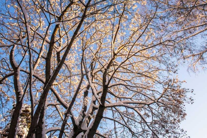 Snow-covered ijzige kroon van de oude die esdoorn, door de stralen van de de winterzon tegen de heldere blauwe hemel wordt verlic royalty-vrije stock fotografie