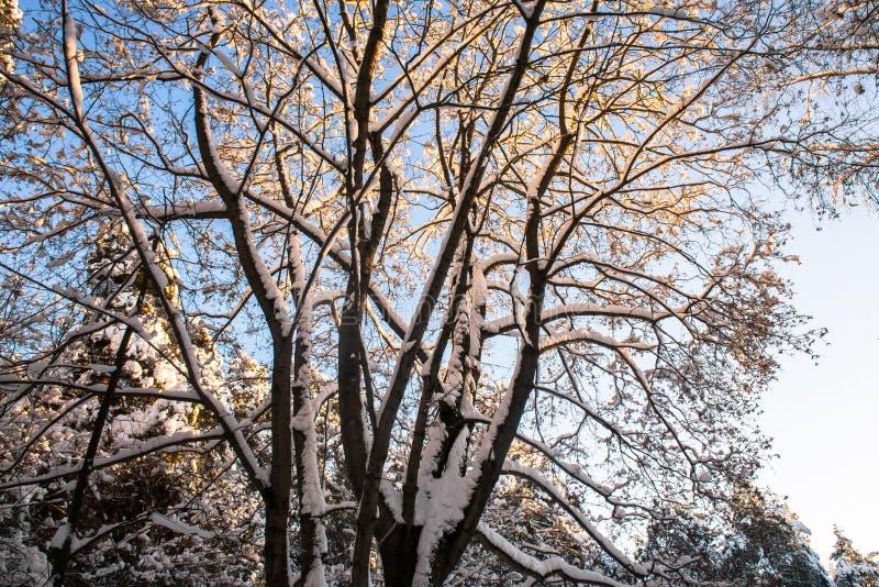 Snow-covered ijzige kroon van de oude die esdoorn, door de stralen van de de winterzon tegen de heldere blauwe hemel wordt verlic stock afbeelding