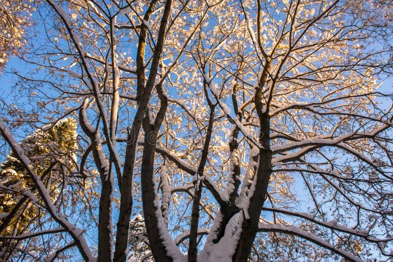 Snow-covered ijzige kroon van de oude die esdoorn, door de stralen van de de winterzon tegen de heldere blauwe hemel wordt verlic royalty-vrije stock afbeeldingen