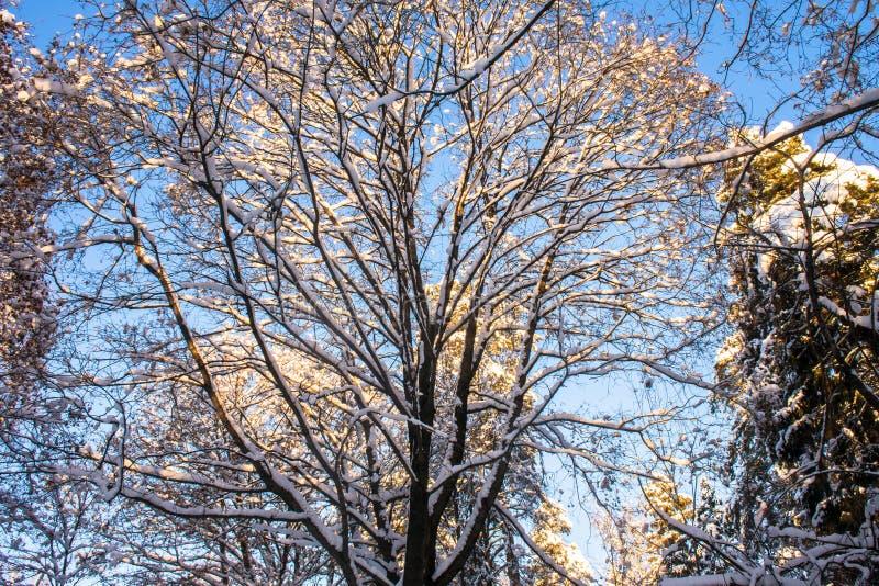 Snow-covered ijzige kroon van de oude die esdoorn, door de stralen van de de winterzon tegen de heldere blauwe hemel wordt verlic stock fotografie