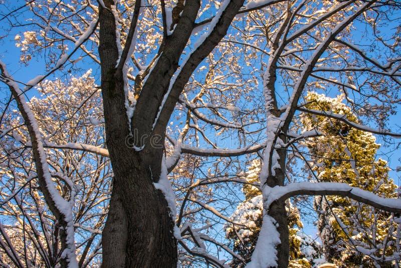 Snow-covered ijzige kroon van de oude die esdoorn, door de stralen van de de winterzon tegen de heldere blauwe hemel wordt verlic stock foto's