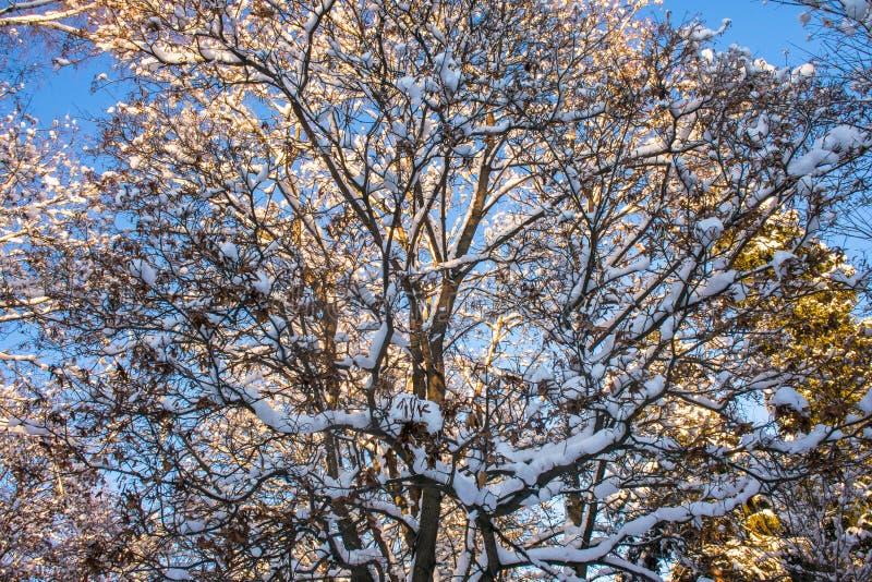 Snow-covered ijzige kroon van de oude die esdoorn, door de stralen van de de winterzon tegen de heldere blauwe hemel wordt verlic royalty-vrije stock foto's