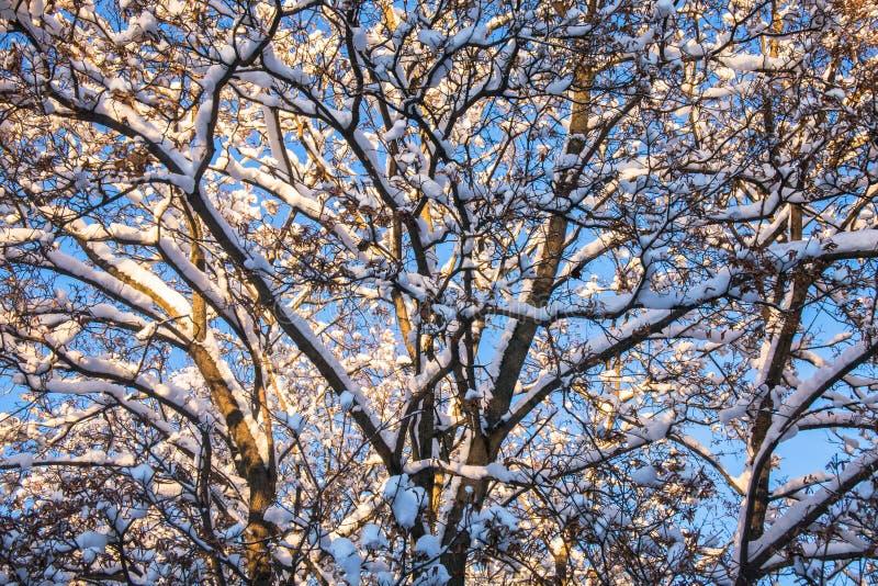 Snow-covered ijzige kroon van de oude die esdoorn, door de stralen van de de winterzon tegen de heldere blauwe hemel wordt verlic royalty-vrije stock foto