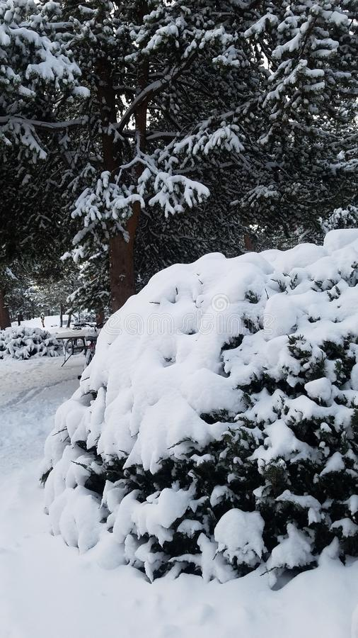 Snow covered juniper bush. Bushwhite, inter, cold, tree, pine, forest royalty free stock images