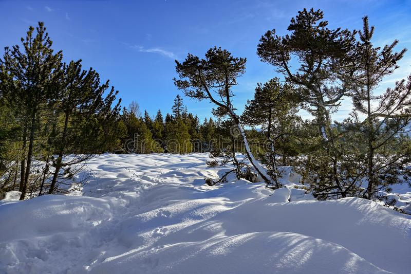 Snow covered landscape with pines and firs in Bavaria, Germany royalty free stock photo