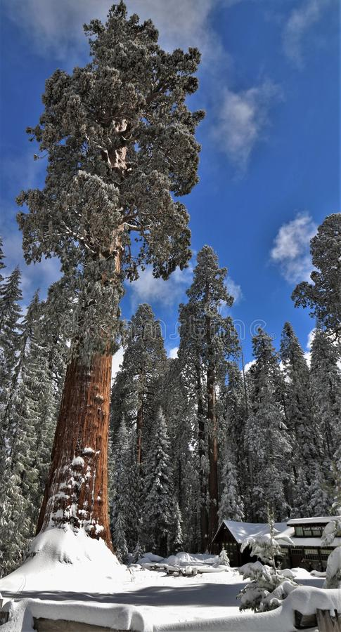 Snow covered large sequoia redwood tree in front of visitor lodge in Sequoia National Park California stock photos