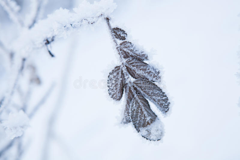 Snow Covered Leaves Royalty Free Stock Photos