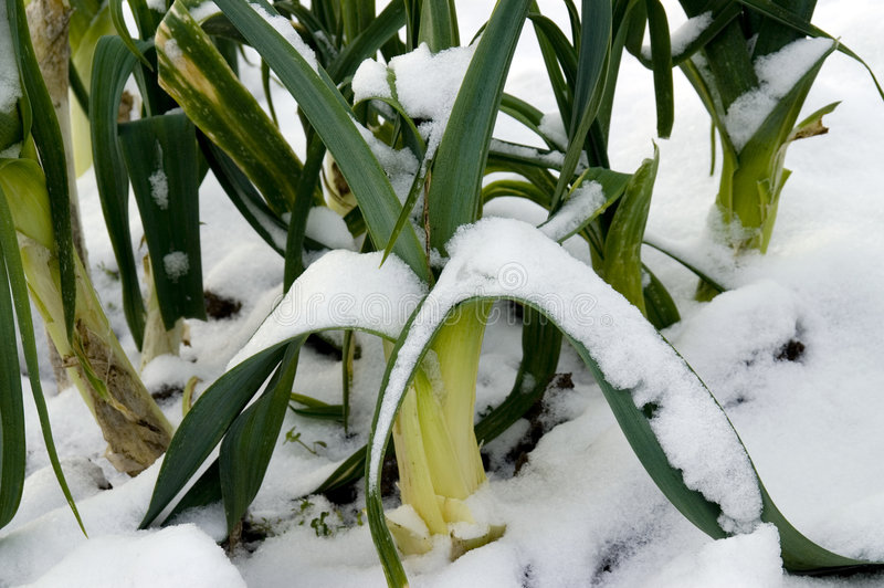 Snow covered leeks stock image