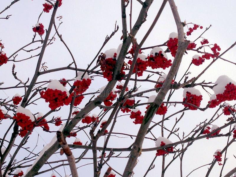 Snow-covered lijsterbes` s takken met ashberries stock afbeelding