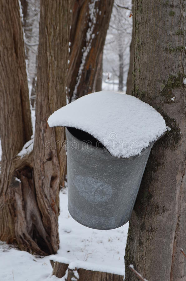 Snow covered maple syrup bucket hanging on tree. Maple syrup bucket hanging on maple tree in the woods royalty free stock photography