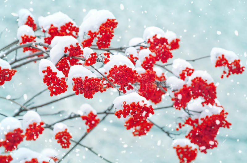 Snow-covered mountain ash. Bright red bunches of rowan in the snow royalty free stock photo