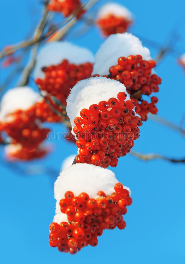 Snow-covered mountain ash stock images