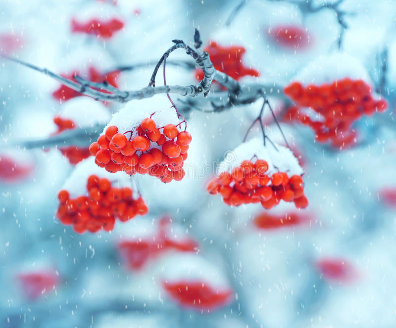 Snow-covered mountain ash stock image