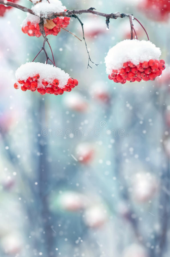 Snow-covered mountain ash royalty free stock images