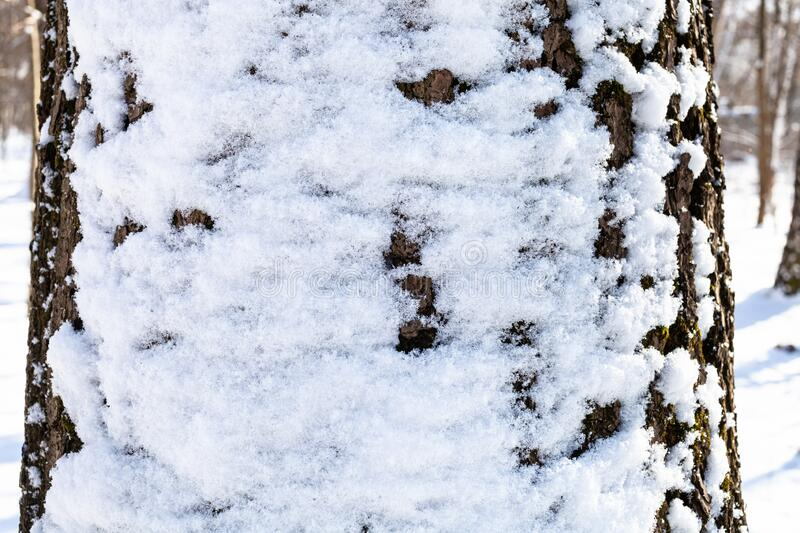 Snow-covered oak trunk close-up in forest stock photography