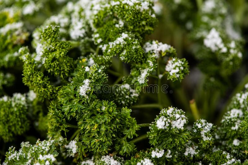 Parsley plant covered with snow stock photos